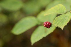 RvanEerd-NiB-ClubAvond-03-Little-red-blackberry-in-the-green-RvanEerd-20190922-091731-Canon-EOS-R-_MG_5095